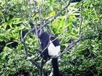 Báo cáo Thủ tướng việc lập khu bảo tồn voọc mông trắng
