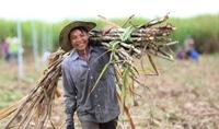 Áp dụng biện pháp chống bán phá giá sản phẩm đường mía có xuất xứ từ Vương quốc Thái Lan
