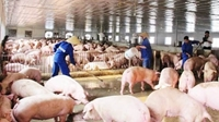 Kiểm tra việc khắc phục hậu quả vi phạm hành chính của hộ chăn nuôi Nguyễn Thanh Phong